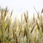 wheat, wheat field, cornfield